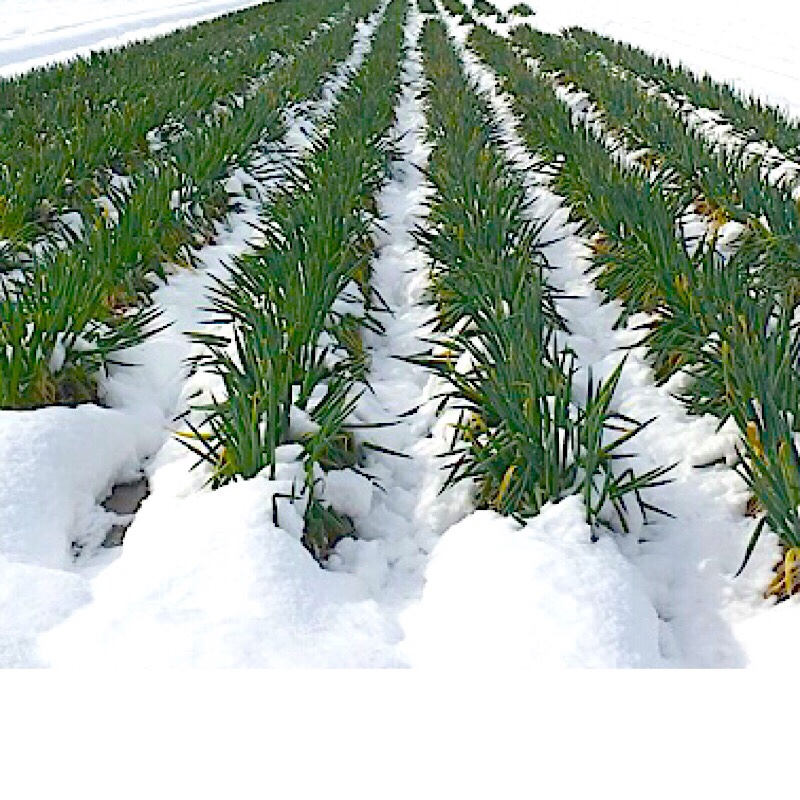 雪下とやまの白ねぎのイメージ