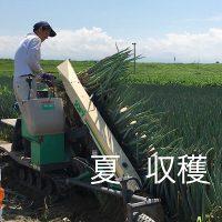 ねぎ畑収穫